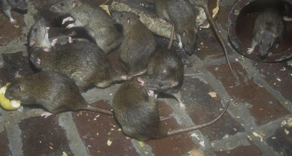 уничтожение крыс в Дербенте